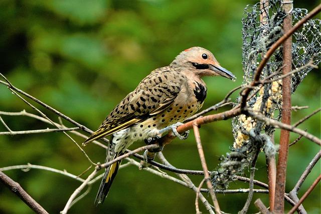 Bird, Beautiful, Woodpecker, Flicker, Male