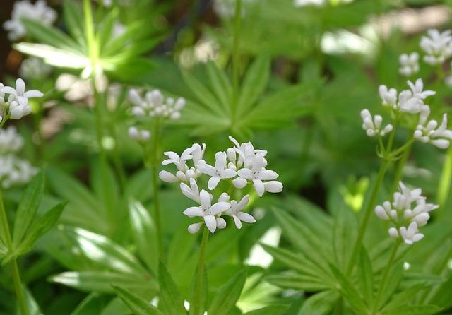 Woodruff, Fragrant Bedstraw, Galium Odoratum, Maikraut