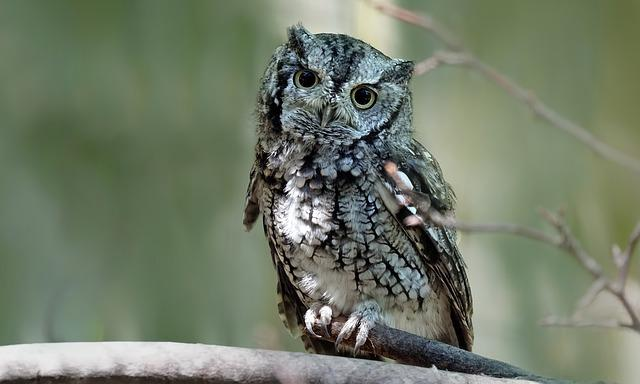 Eastern Screech Owl, Birds, Forest, Woods