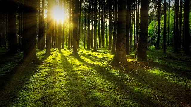 Trees, Moss, Forest, Sunlight, Sunrays, Sunbeams, Woods