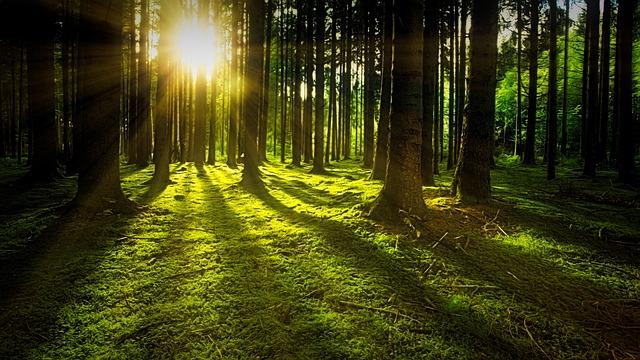 Trees, Moss, Forest, Sunlight, Sunrays, Sunbeams, Woods