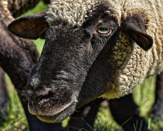 Sheep, Face, Head, Animal, Wool, Nature, Mammal
