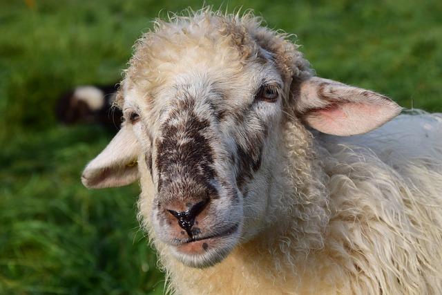 Sheep, White, Livestock, Animal, Wool, White Sheep, Fur