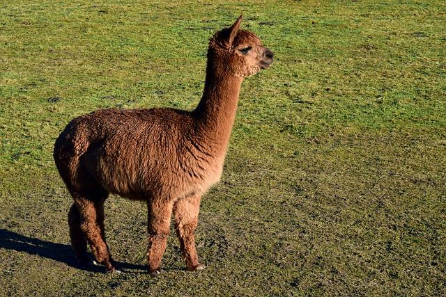 Mammal, Animal, Grass, Wool, Farm, Alpaca, Brown