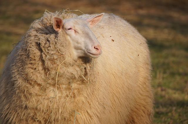 Sheep, Animal, Wool, Farm, Fur, Animals, Sheep Face