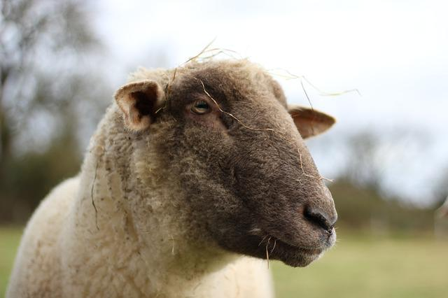 Animal, Sheep, Pasture, Livestock, Wool