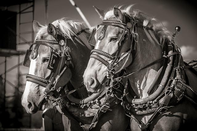 Horse, Heavy, Work, Tough, Horsepower, Harness, Pull