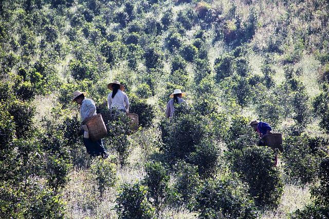 Tea Pickers, Tea Picking, Work