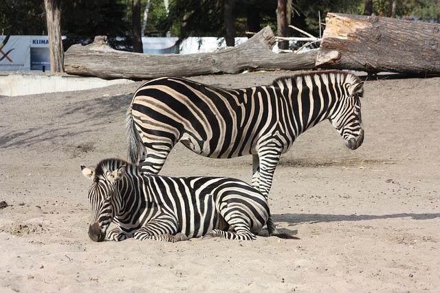 Zebra, Zoo, Wroclaw