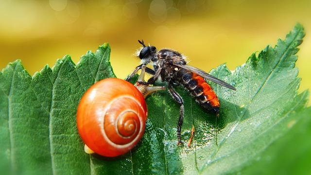 Wierzchołówka żółtowłosa, Muchówka, Wstężyk Huntsman
