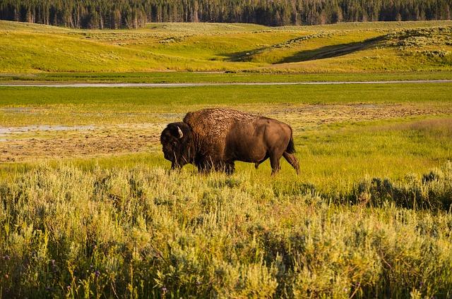 Bison, Yellowstone, Wyoming, Usa