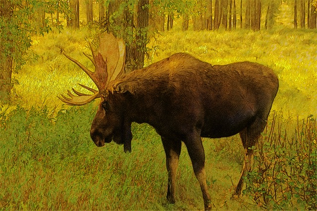 Wyoming Bull Moose, Moose, Elk, Animal, Mammal, Antler