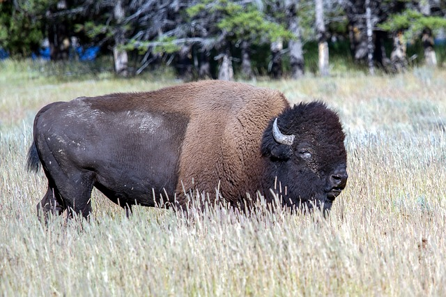 Yellowstone National Park, Wyoming, Usa, Bison