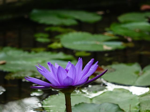 蓮 Perfume Flowers, Lotus, Xiang Qi, Cool