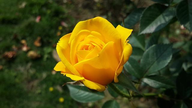 Flower, Roses, Yellow, Morning, Bird's Flowers, Xie