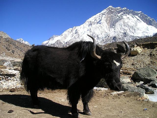 Nepal, Yak, Tibetan, Ox, Last Animal, Bear, Transport