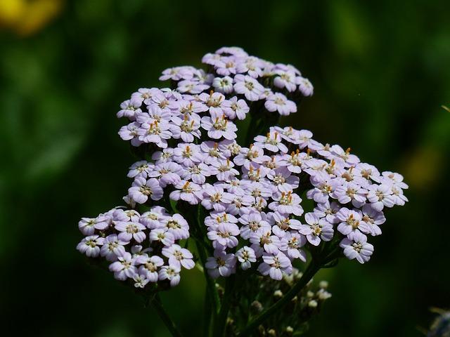 Yarrow, Blueme, Blossom, Bloom, Light Purple, Violet