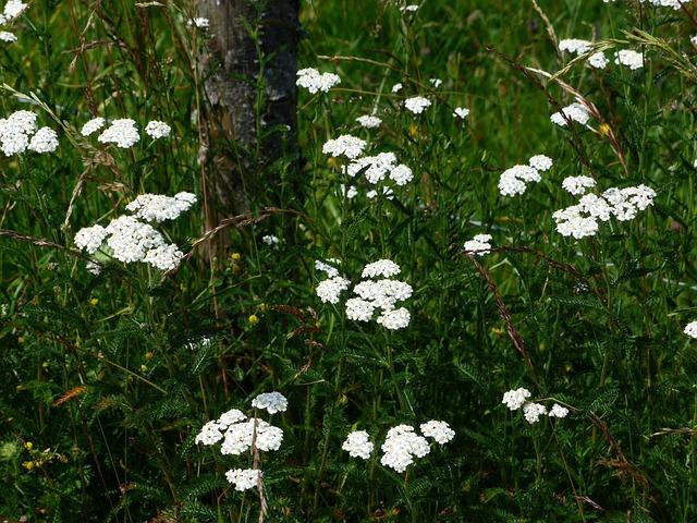 Common Yarrow, Yarrow, Blossom, Bloom, White, Flower