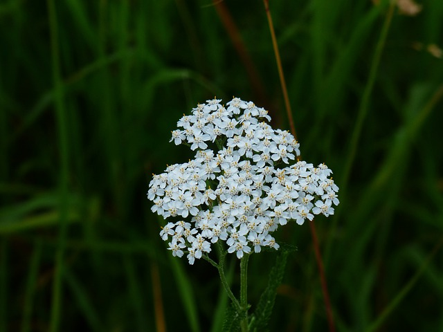 Yarrow, Blossom, Bloom, White, Flower, Pointed Flower