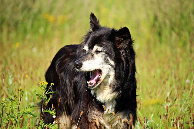 Dog, Yawn, Border, Border Collie, Collie, Herding Dog