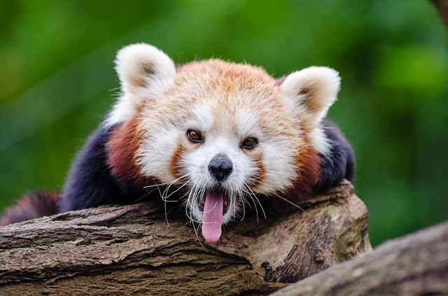 Red Panda, Yawns, English-speaking, Cute, Curious