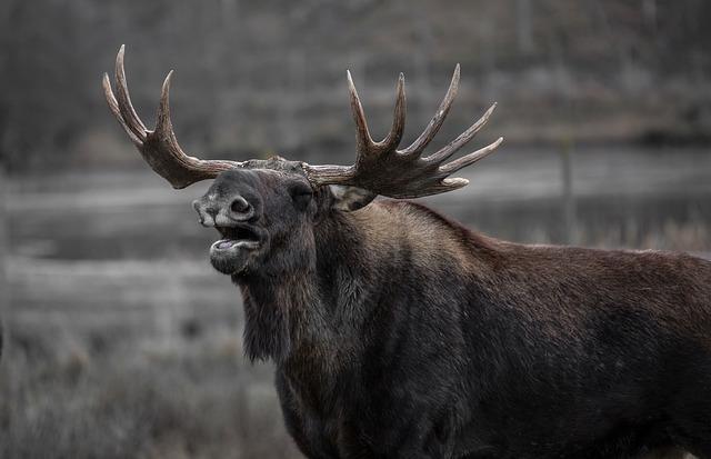 Moose, Bull Elk, Yawns