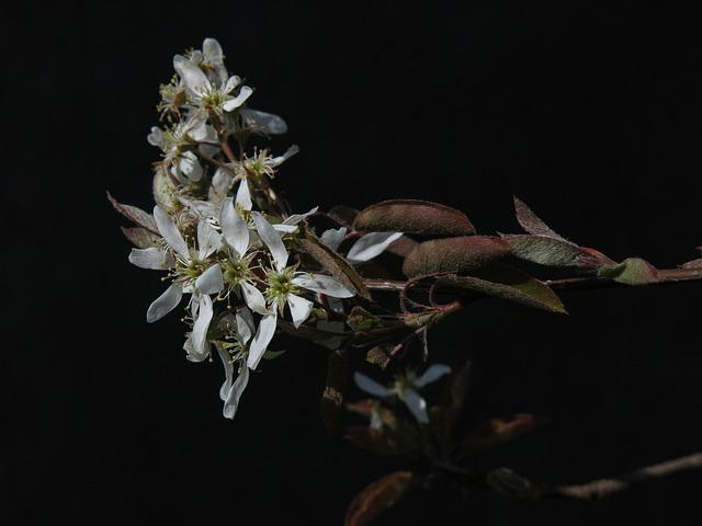 Amelanchier, Flowers, White, Year's Rock Pear, Petals