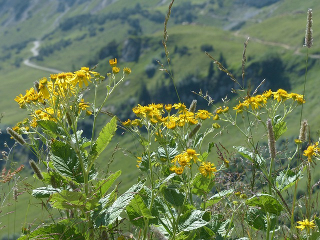Alpine Groundsel, Flower, Blossom, Bloom, Yellow