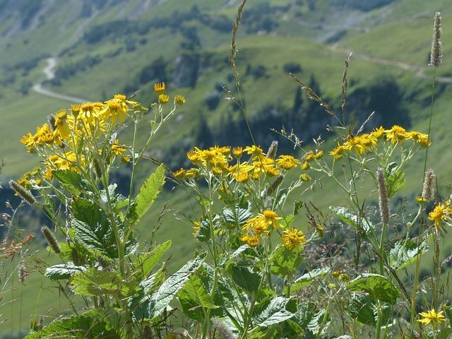 Alpine Groundsel, Flower, Blossom, Bloom, Yellow