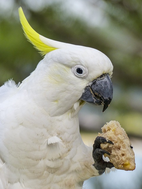 Cockadoo, White, Yellow, Bird, Nature, Animal, Wildlife