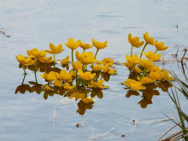 Caltha Palustris, Aquatic Plant, Blossom, Bloom, Yellow