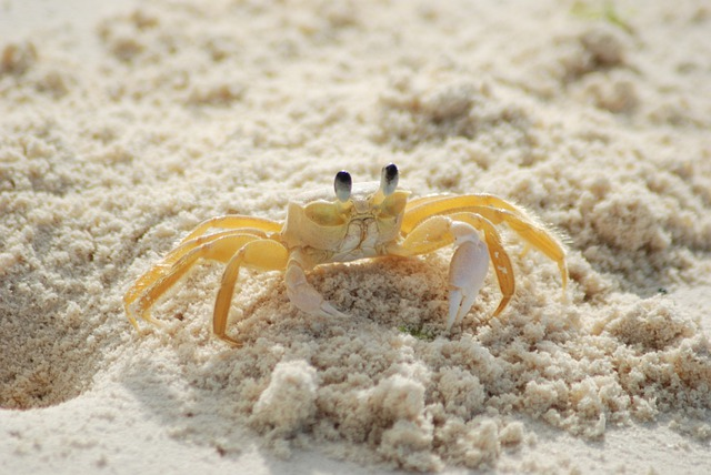 Crab, Yellow, Ocypode Quadrata, Atlantic Ghost Crab