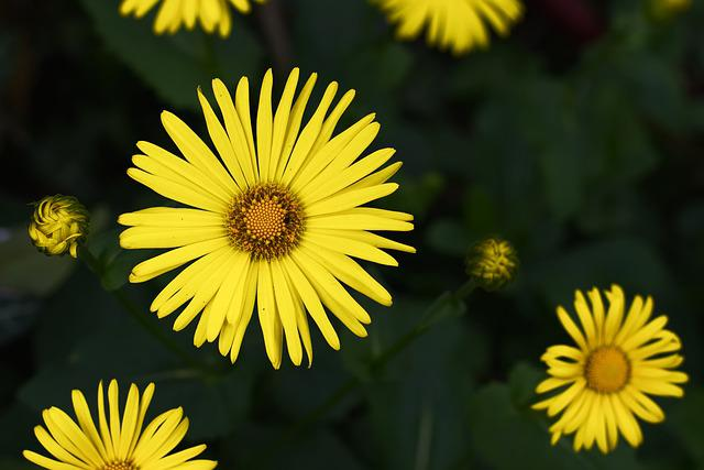 Peucedanum, Balkan-gemswurz, Flower, Yellow, Plant