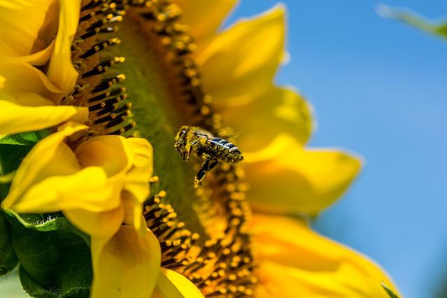 Bee, Sun Flower, Yellow, Busy Bee