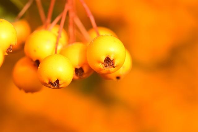 Rowan, Yellow, Fruits, Berries, Autumn, Bush, Orange