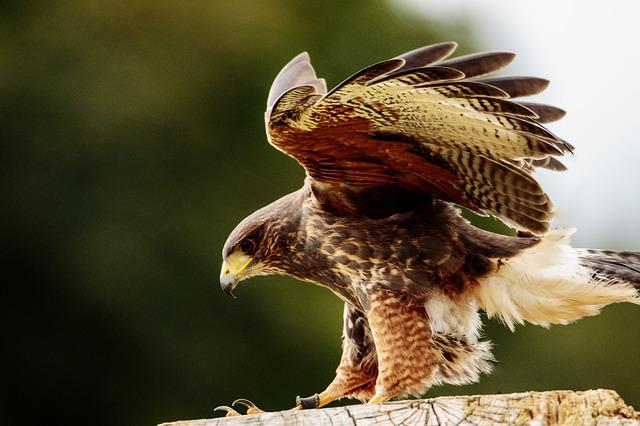 Yellow Billed Kite, Bird Of Prey, Kite, Bird, Prey