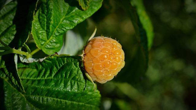 Blackberry, Yellow Blackberry, Fruit, Nature, Summer