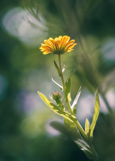 Marigold, Flower, Blossom, Bloom, Yellow, Nature, Plant