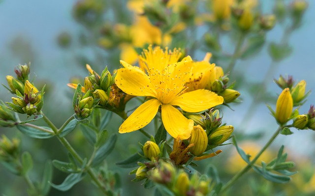 St John's Wort, Blossom, Bloom, Stamp, Pollen, Yellow