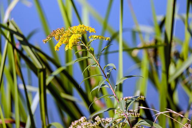 Golden Rod, Blossom, Bloom, Bloom, Yellow, Rhine River