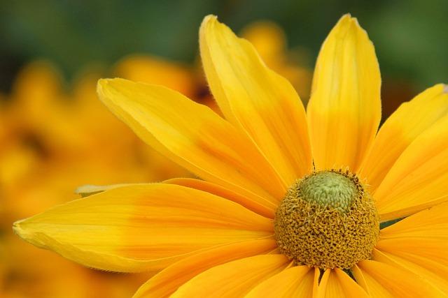 Coneflower, Blossom, Bloom, Yellow, Flower, Garden