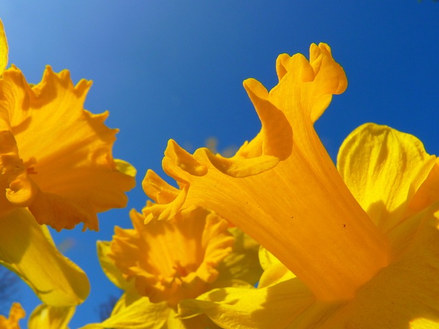 Narcissus, Daffodil, Flower, Blossom, Bloom, Yellow