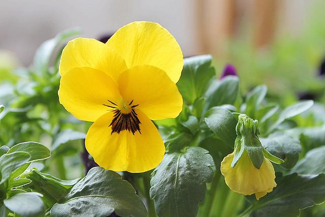 Pansy, Yellow, Spring, Blossom, Bloom, Violet