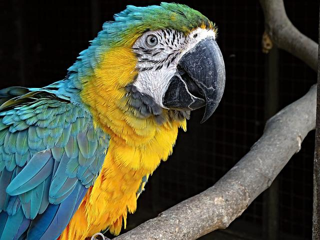 Yellow Macaw, Ara, Bird, Parrot, Colorful, Blue, Yellow