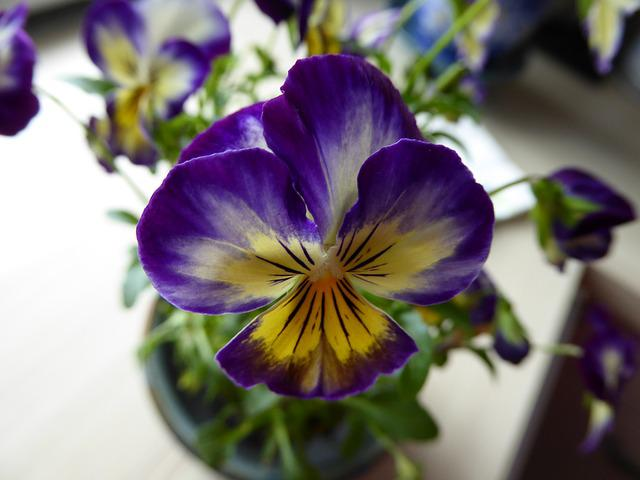 Pansy, 400–500, Vase, Blue, Yellow, Transparent