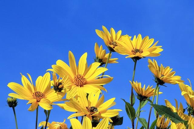 Jerusalem Artichoke, Yellow Flower, Blue Sky, Yellow