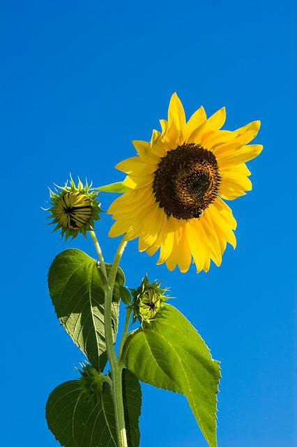 Flower, Sunflower, Sky, Blue, Yellow, Green, Plant