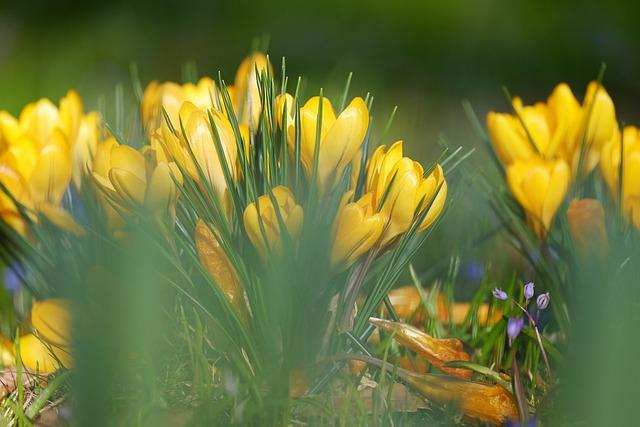 Tiefenschärfe, Depth Of Field, Blur, Crocus, Yellow