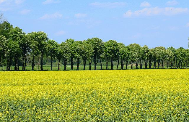 Field Crops, Rapeseed, Blooming Rapeseed, Yellow Box