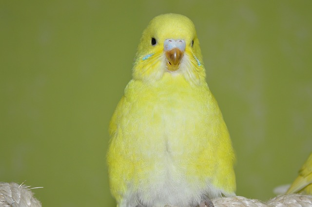 Budgie, Yellow, Ziervogel